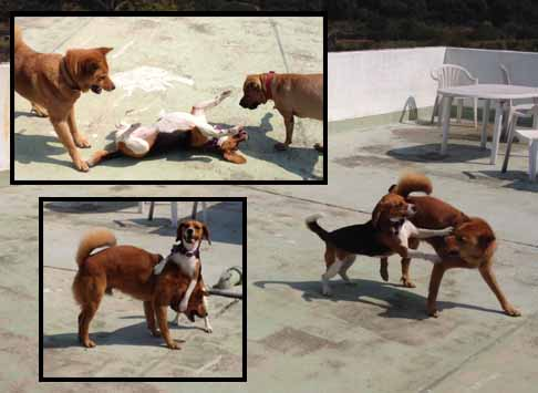 Social dogs can be both dominant and submissive during playtime