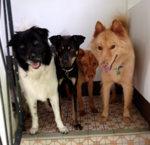 Four of my guests: beautiful and very good Hong Kong mongrels, all adopted from one of the charities mentioned below